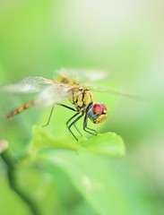 Female common darter (ibtihajtafheem) Tags: dragonfly dragonflies insect insects macro macrophotography macroworld nature naturelover naturelovers naturephotography naturescape natureporn naturel natureshots naturebeauty natural photography photographylove photographs photographylife photo dayphoto closeup