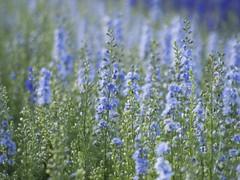 Multitude ***--+°--° (Titole) Tags: pieddalouette titole nicolefaton blue delphinium many flowers 15challengeswinner thechallengefactory storybookwinner gamesweepwinner