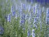 Multitude **---+° (Titole) Tags: pieddalouette titole nicolefaton blue delphinium many flowers 15challengeswinner thechallengefactory