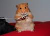 Monty (.annajane) Tags: syrianhamster hamster cute furry monty pet mesocricetusauratus goldenhamster