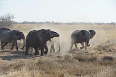 Elephant Breeding Herd (naturalturn) Tags: walk walker baby herd elephant mud savanna dust moremi moremigamereserve okavangodelta okavango delta botswana image:rating=5 image:id=202562