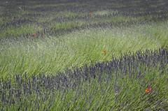 Natural pointillism of lavender (nuriapase) Tags: provence rustrel provencealpescôtedazur francia flowers lavander puppies amapolas lavanda espígol roselles nature pointillism puntillisme landscape paisatge travel viaje viatge holidays vacances vacaciones estiu summer