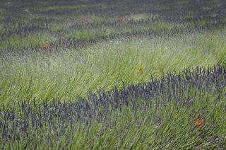 Natural pointillism of lavender