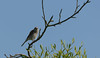 Neuntöter / Red-backed shrike (S. Markow) Tags: laniuscollurio neuntöter vogel redbacked shrike nikon nikond5300 nature natur bird outdoor sigma 150600mm tree baum wildlife