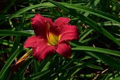 Hemerocallis fulva (Daylily) Дневна лилия  DSC_0175 (Me now0) Tags: flower park europe summer nikond5300 micronikkor40mm hemerocallisfulva daylily дневналилия цвете юженпарк софиябългарияевропа никонд5300 червена red