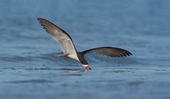 Black Skimmer (nikunj.m.patel) Tags: migration shore beach naturephotography nikon avian blackskimmer skimmer seabird bird birds outdoor summer photo photography wildlife nature