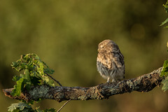 Little owl chick (Athene noctua) (Steven Whitehead) Tags: littleowl chick wildlife wild nature feeding feathers canon canon5dmk4 500mm 500mmf4 500mmf4is canon500mm sunset sunlight tree branch 2017 birdofprey birds bird ngc