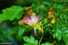 EL ENCANTO DE LA FLOR. ALBIZIA. THE CHARM OF THE FLOWER. GUAYAQUIL - ECUADOR. (ALBERTO CERVANTES PHOTOGRAPHY) Tags: guayaquilecuador guayaquil ecuador planta plant verde green flor flower gye guayas pais country guayaquildemisamores amores perla pacifico perladelpacifico pearlofpacific pearl pacific photography retrato portrait macro garden islasantay ecuadorgye color luz light albizia julibrissin morbihan bokeh indoor outdoor blur colores colors brillo bright brightcolors photoborder republicadelecuador