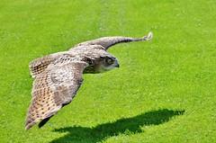 Turkmenian Eagle Owl (stavioni) Tags: turkmenian eagle owl thorp perrow bird birds prey flying display yorkshire