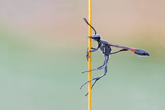 Thread Wasted Wasp (ayres_leigh) Tags: macro wasp stack canon nature wildlife bee insect tokina