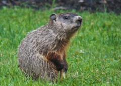 critter again (MissyPenny) Tags: animal groundhog bristolpennsylvania usa southeasternpa marmot