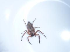 Spider in the Cup (tessab101) Tags: spider arachnid blue mountains nsw australia arthropod sparassidae hemicloea rogenhoferi flat bark