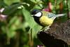 Great tit (david.england18) Tags: greattit smallbirds various tits blue great coal localpark queensparkheywood himalayanbalsam canon7d canonef300mmf4lisusm birdsuk