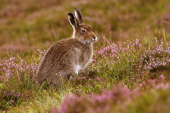Mountain Hare (Ally.Kemp) Tags: mountain hare scottish highlands lepus timidus summer heather scotland wildlife