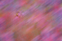 Virtually Beeing Around (Alfred Grupstra) Tags: nature backgrounds closeup pinkcolor insect macro flower purple bee abstract summer multicolored