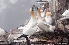 Pair bonding (Photosuze) Tags: gannets northerngannets pair couple birds avians aves display greeting animals nature wildlife