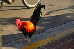 Key West (Sabreur76) Tags: keywest thekeys florida fl sabreur76 vicenç feliú vicençfeliú travel nikond7000 tamron18270 birds bird rooster