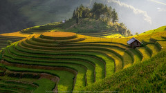 D 14. (thiery74) Tags: agriculture asean asia asian beautiful curve earth ecology environment farm farming field fields food green harvest hill kids land landscape mountain nature paddy plant plantation ray rice rough rural sunlight sunset terrace terraced tourism travel twilight valley vietnam yênbái vn