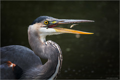 Great Blue Heron (Chris Lue Shing) Tags: aurora ontario canada ca nikond7100 tamronsp150600mmf563divcusd bird newmarket nokiidaatrail mckenziemarsh tree autumn fall nature greatblueheron ©chrislueshing feeding fish catch eating nikon tamron 150600 150600mm animal d7100 flip toss great blue heron minnow
