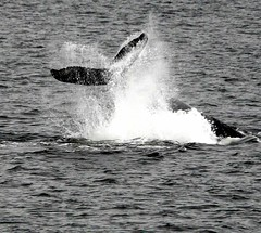 Whale Tail Splash (The Old Texan) Tags: tail whale alaska juno splash