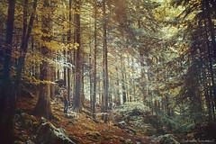 Halcyon (Raphaelle Monvoisin) Tags: autumn forest nature tree summer foliage wood wild sunbeam wilderness creek sequoia woodland old growth redwood fallen fall hoh rainforest wooded big trees