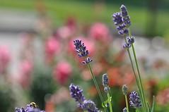 Happy Lavender (ladybugdiscovery) Tags: hbw bokeh lavender wednesday bee macro mauve pink garden flower bokehoftheday ladybugdiscovery