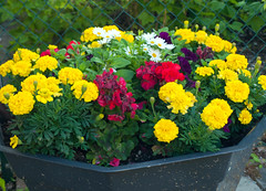 Flowers in the Garden (Linnea from Sweden) Tags: olympus e450 mzuiko digital 1442 3556 flower plant nature green summer garden color colour