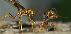 giant ichneumon encounter aug 2017 DSC_2816 (le maudit) Tags: parasiticwasp wasp ichneumon macro egglaying treetrunk insect clsoeup encounter