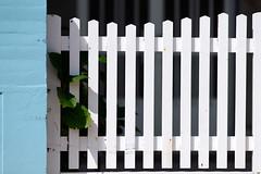 White fence sky blue wall (Testigo Indirecto) Tags: fence madeofwood skyblue wall whitefence patern lines líneas verja celeste blanco prisioner plant planta prisionerplant jail
