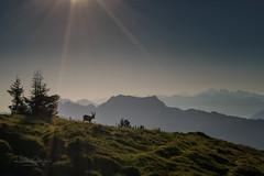 Steinbock / Capricorn (Explored...thank you so much!) ♥ (Claudia Bacher Photography) Tags: steinbock capricorn niederhorn berneroberland berge himmel heaven landschaft landscape mountain natur nature outdoor suisse schweiz switzerland sonya7r tiere animals