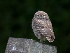 Fluffy Little Owlet (irelaia) Tags: cute young bird wild fluffy owl little littleowl