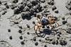 Crab Balls (Amy Maher) Tags: legs blue beach australia qld queensland sand balls crab