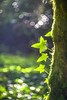 Fairyland (Fourteenfoottiger) Tags: 3 three bright light play shimmer magical swirl swirly fairyland bokeh bubblebokeh bubbles dancing green forest woodland woods helios44m sunlight morninglight countryside backlit ivy leaves trees nature plants carpet moss webs