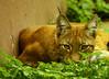 Lynx lynx // wszystkie Ryśki to porządne chłopy