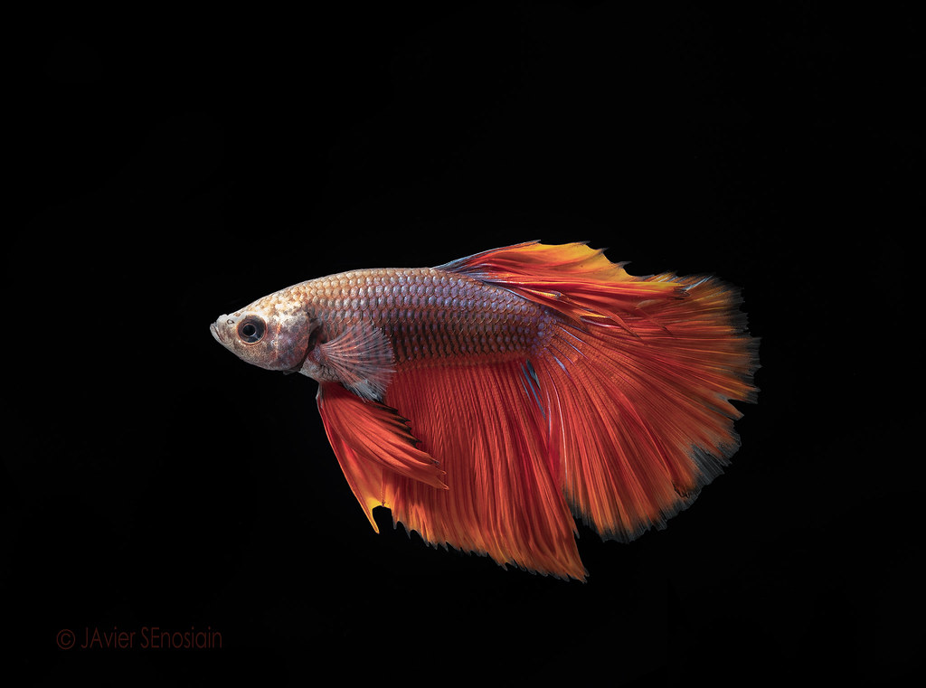 The world 39 s best photos of betta and fish flickr hive mind for Betta fish size