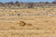 Same Scene, Different Audience (gecko47) Tags: cat feline lion pantheraleo male predator carnivore sociable prides waterhole etoshanationalpark snoozing patient prey springbok apprehension