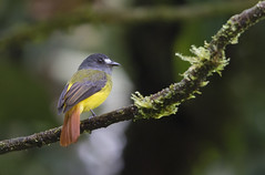Ornate Flycatcher Mano Road Peru _E1U8634 Jul 2017 (www.sabrewingtours.com) Tags: peru bird photo photography sabrewing nature tours snt brian zwiebel bz tropics tropical forest amazon conservation association aca manu road ornate flycatcher