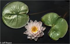 Water lily arrangement (jrphotos98) Tags: floweringplants kewgardens lilypads