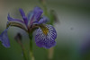DSC09053_BlueIris (FanzFlames) Tags: lilies coneflowers blackeyedsusan sunflower butterflyweed clematis iris