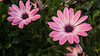 daisy (Discreet *(: [ )) Tags: purple daisy 7d mark 2 70200mm flower celebration holiday birthday valentine romantic pink beautiful green plant garden