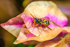 interesting wasp scene (I was blind now I see!) Tags: wasp leaf botanical bokeh insect thorax colours