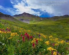 San Juan Wildflowers (Bridget Calip - Alluring Images) Tags: 2017 4x4road alluringimagescolorado bridgetcalip colorado coloradomineralbelt coloradowildflowers goldminingdistrict maggiegulch ouraycounty rockymountains sanjuancounty sanjuanminingdistrict sanjuanmountains silverminingdistrict silverton uncompaghrenationalforest yankeeboybasin alpinemeadow alpinewildflowers backroad blueskies botanical canbymountain flora gulch highaltitude landscape meadow miningdistrict summer
