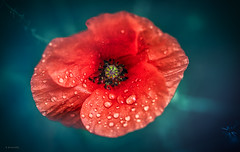 wet (Simon[L]) Tags: poppy red rain water droplets canon50mmf18ltm flowers petals