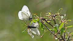 Black-veined White - Aporia crataegi (jaytee27) Tags: blackveinedwhite aporiacrataegi naturethroughthelens