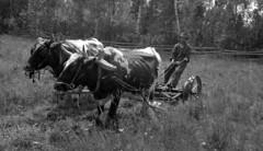 Saint-Philibert-de-Beauce, paire de bœufs de Paul-Émile Roy, colon (Bibliothèque et Archives nationales du Québec) Tags: élevage agriculture saintphilibert beauce banq