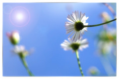 Hanging On to Summer (Sarah Fraser63) Tags: summer garden mygarden daisy daisies sky bluesky nature outside outdoors flower flora