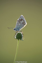 Early Morning (predman69) Tags: bokeh butterfly chalkhill blue somerset poldenhills white orange green scabious