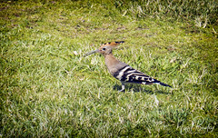HOOPOE 1 (Nigel Bewley) Tags: hoopoe upupaepops telaviv israel wildlife naturalhistory greatoutdoors wildlifephotography endangeredwildlife bird birds avian birdlife distinguishedbirds birdwatcher creativephotography artphotography unlimitedphotos september september2017 nigelbewley photologo