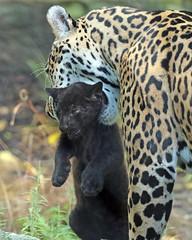 jaguar Rica and cub artis BB2A6278 (j.a.kok) Tags: rica artis animal mammal zoogdier dier jaguar jaguarcub blackjaguar zwartejaguar pantheraonca zuidamerika southamerica kat cat motherandchild moederenkind predator