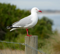 The Poser (The Pocket Rocket, On and Off.) Tags: silvergull chroicocephalusnovaehollandiae oceangrove victoria australia